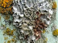 lichen-1
